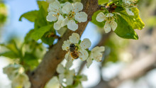 A Bee Or A Wasp Flies Near A Flower Tree. Insect Pollinates Cherry And Apple Flowers