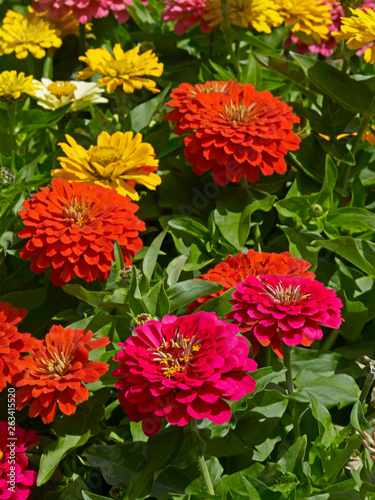 Colourful display of Zinnia elegans in a flower border