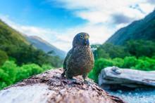 Kea, Mountain Parrot On A Tree...