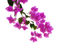 Closeup Of Bougainvillea Flowers And Leaves