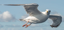 A Seagull In Flight