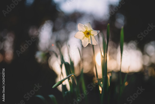 Garden Poster Narcissus Blown beautiful Narcis flower on a tree with green leaves