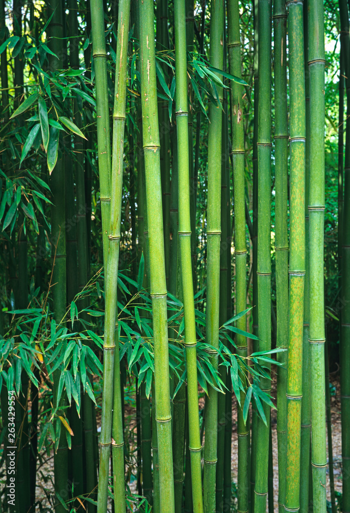 Growing Bamboo Phyllostachys viridiglaucescens in a tropical garden