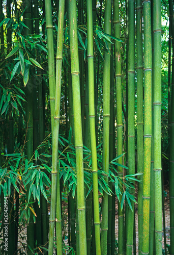 Growing Bamboo Phyllostachys viridiglaucescens in a tropical garden