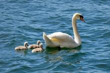 Mute Swan (Cygnus Olor), Chicks In The Water, Lake Lugano, Canton Of Ticino, Switzerland, Europe