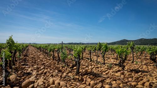 Vigne terroir galet et ciel bleu sud de la France Wallpaper Mural