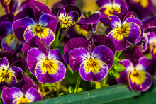 Purple Garden Pansy Flowers In Macro Closeup, Colorful Ornamental Flowers For The Backyard, Popular Flowers From Europe And Asia, Nature Background