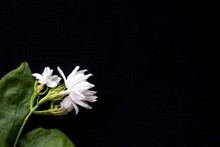Beautiful Jasmine Flowers Isol...