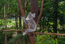 Wild Koala On A Tree In A Gree...