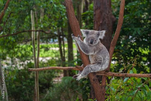 Photo Stands Koala Wild koala on a tree in a green park in Australia
