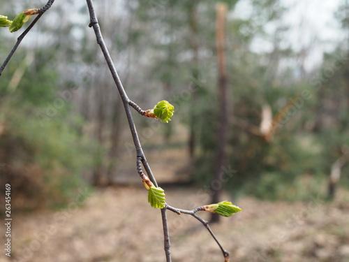 Fotografija  Green branch birch almost blooming in spring