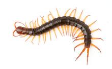 Centipede Isolated On White Ba...