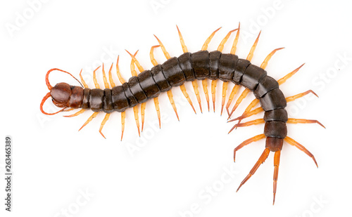 Fotografija centipede isolated on white background