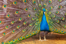 Portrait Of A Peacock In A Zoo