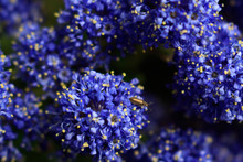 Blue Indigo Floral Background. Macro Shoot Of  California Lilac Visited By Insect.