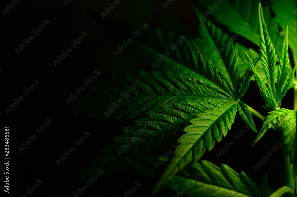 Fototapety, obrazy: Large leaves of marijuana on a black background. Growing medical cannabis.