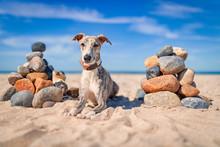 Hübsche Junger Whippet Hund L...