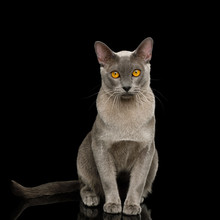 Adorable Cray Burmese Cat Sitting And Gazing On Isolated Black Background, Front View
