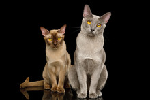 Two Burmese Cats Sitting And L...