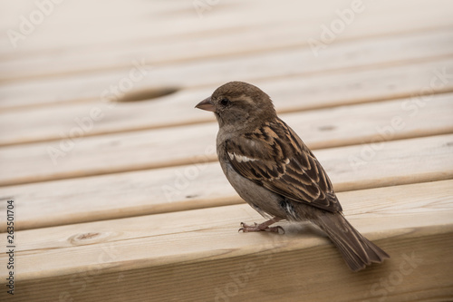House sparrow on a wooden table Wallpaper Mural