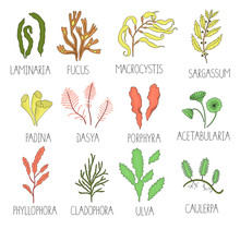 Vector  Colored Set Of Seaweed...