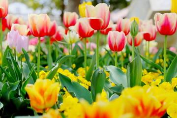 カラフルで可愛いチューリップが咲く公園