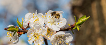 Close Up Of A Blooming Apricot Bee Collecting Pollen