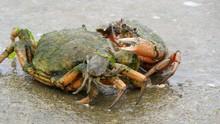 Shore Crabs Fighting