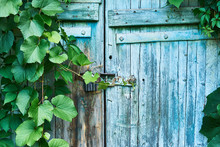 An Old Wooden Door In The Subterranean, Covered With Ivy And Wild Grapes