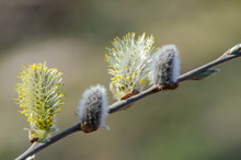 Pussy Willow Yellow Spring Flowers. Selective Focus.