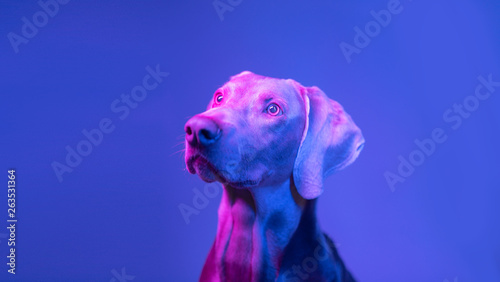 Spoed Foto op Canvas Hond Weimaraner dog portrait in the light of colored lamps