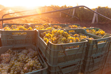 Grape Harvesting On Vineyards. Containers With Freshly Picked Grapes On The Truck In Morning Sunlight Rays.