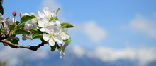 Apfelblüten - Apfelbaum - Apfelbaumblüte Vor Blauen Himmel Und Verschneiten Bergen