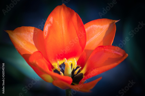 Türaufkleber Rot Flower tulips background. Beautiful view of red tulips under sunlight landscape at the middle of spring or summer.