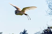 Flying Common Barn Owl  (Tyto ...