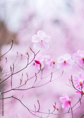 Fototapeta  ヤシオツツジの花