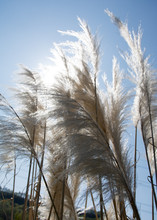 Cortaderia Selloana, Commonly Known As Pampas Grass Grows In A Yorkshire (uk) Garden In Spring.