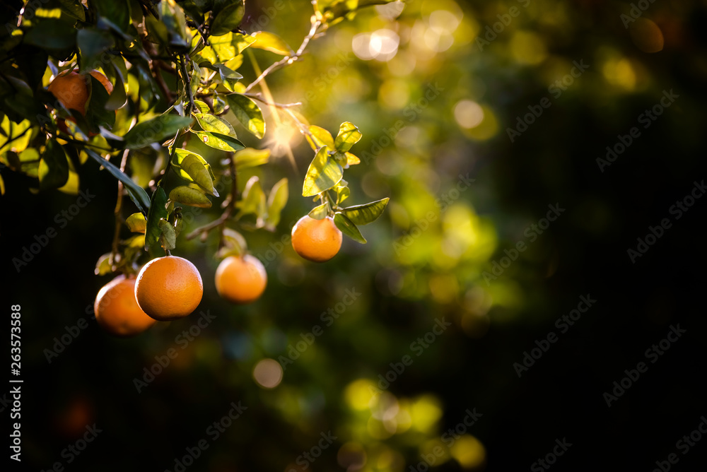 Fototapety, obrazy: Ripe oranges loaded with vitamins hung from the orange tree in a plantation at sunset with sunbeams in the background in spring.