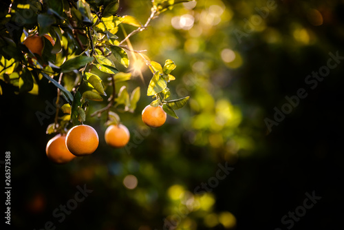 Ripe oranges loaded with vitamins hung from the orange tree in a plantation at sunset with sunbeams in the background in spring. - 263573588
