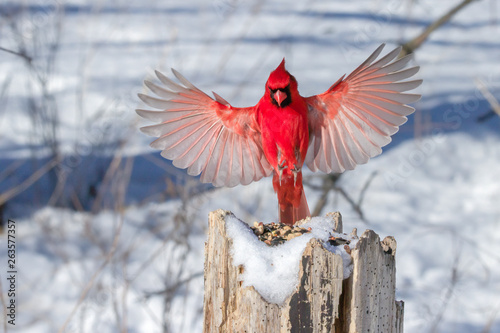 Leinwand Poster Male Northern Cardinal in flight.