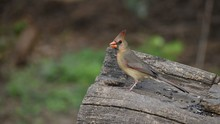 Brown Female Cardinal Perched On A Stump Eating A Sunflower Seed. Room For Text Against A Green Leafy Background.