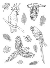 Vector Black Ink Hand Drawn Doodle Sketch Set Collection Of Different Parrots Birds Isolated On White Background