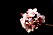 In Spring, The Plum Blossom