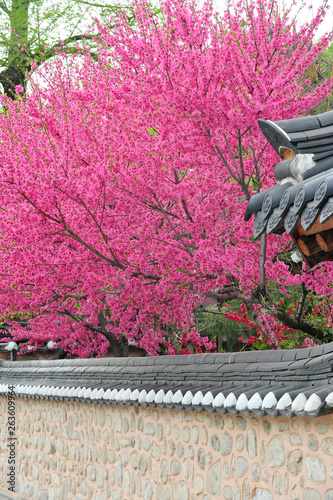 Poster Rose Peach blossom trees blooming in Hanok Village