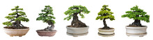 Bonsai Trees Isolated On White...