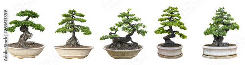 Poster de jardin Bonsai Bonsai trees isolated on white background. Its shrub is grown in a pot or ornamental tree in the garden.