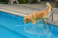 Golden Retriever Puppy (Dog) Jumping Into Swimming Pool