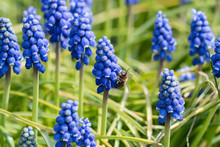 Muscari - Blue Grape Flowers On A Green Stem In Nature And A Bee Pollinating A Flower.