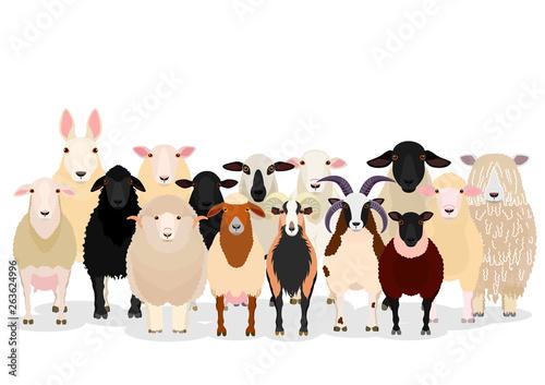 Fotografie, Obraz  various sheep group