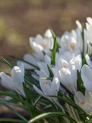 Panel Szklany Eko White crocuses. The first spring flowers